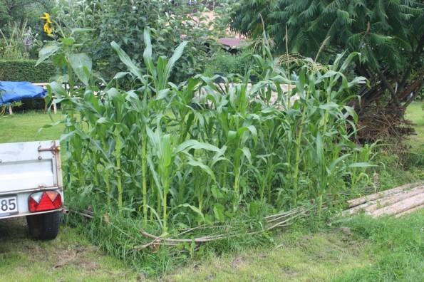 zuckererbsen anbau rankhilfe