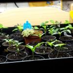 Die Chilis erfreuen sich auch unter dem Licht der Leuchtstoffröhren. Zudem befindet sich in der Anzucht noch ein Sonnentau, der die Trauermücken bekämpfen soll.