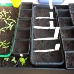 Nicht nur Tomaten und Chilis, sondern auch Tabak, Bambus, Basilikum, Hirse und Amaranth werden unter dem Licht der Leuchtstoffröhren vorgezogen.