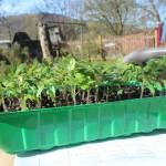 Es ist zu sehen, dass die Pflanzen wirklich klein, buschig und kompakt sind, so wie wir sie wollen. Also praktisch das Gegenteil von verspargelten/vergeilten Pflanzen. Alles ist ausschließlich unter dem Kunstlicht gewachsen. Die Kästen wurden nur zur besseren Anschaulichkeit kurz raus auf den Gartentisch gestellt und fotografiert.