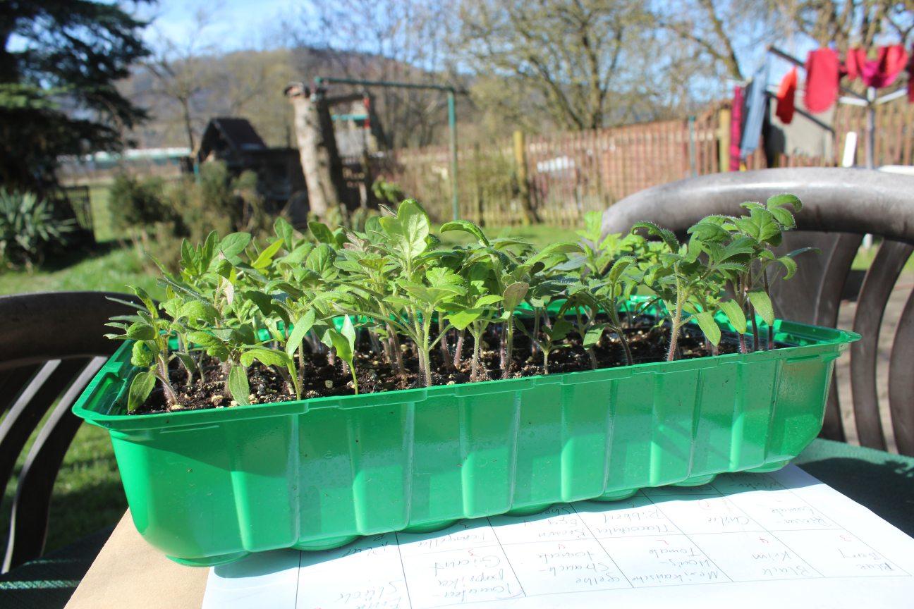 brauchen gurkenpflanzen viel sonne