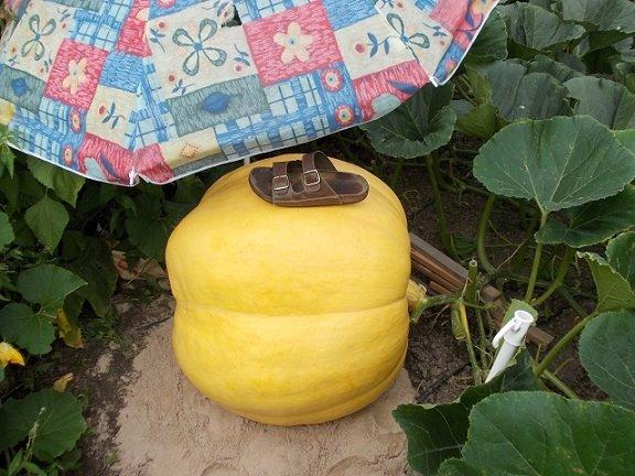 Liebevoll wird Peters Riesenkürbis mit einem Sonnenschirm geschützt.