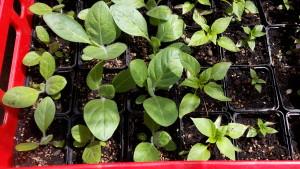 Verschiedene Tabaksorten vor der Auspflanzung