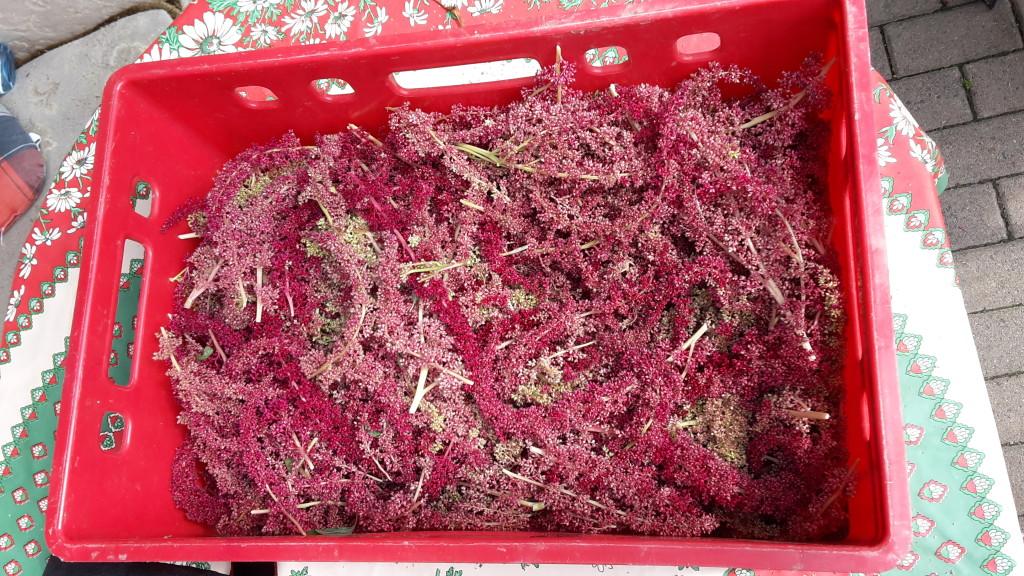 Man erkennt reifen Amaranth daran, dass die Körnchen bei kleiner Berührung aus der Blüte fallen. Man sollte die Blütenstände abschneiden und trocknen. Anschließend kann man diese in einem Sack ausdreschen und am Ende die leichten Teile durch Blasen in einer großen Schüssel von den Samen entfernen.