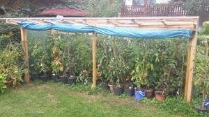 Tomatenanbau in einer eigens hierfür entwickelten Konstruktion