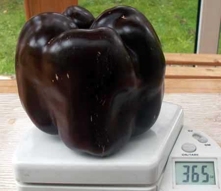 Chocolate Beauty Paprika. Foto von Helmut Pummer (http://tomatenundanderes.eu/)